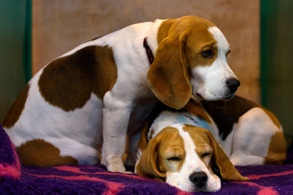 University of Missouri Euthanizes 6 Beagles: School Defends Act : Academics : University Herald