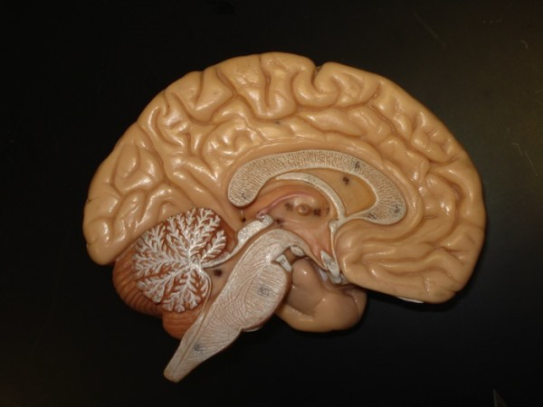Inside The Human Brain For Kids The Human Brain is The