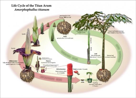 Life Cycle of the Titan Atrum