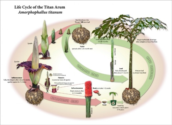 Life Cycle of the Titan Atrum