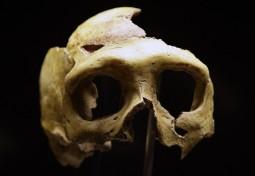 Neanderthal Replica Skull