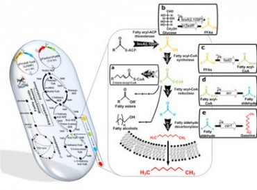 (KAIST) This diagram shows the metabolic engineering of Escherichia coli for the production of short-chain alkanes (gasoline) from renewable biomass.
