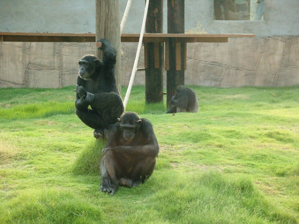 : Flickr/CC) Chimpanzees' lethal aggression does not come from human ...