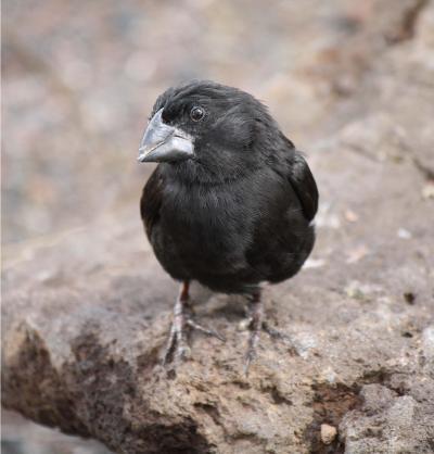 Male Darwin's Finch