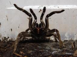 Bird-Eater Spider