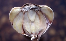 Modern science validates the medicinal benefits of garlic and its potential affectivity to lower risk of age-related diseases like cardiovascular, breast and colon cancer.