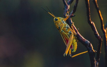 As per biology, the Locusts' antennae perform as powerful noses.