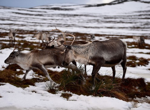 Climate Change Causes Shrinking Of Reindeers; Who Will Help Santa Now?