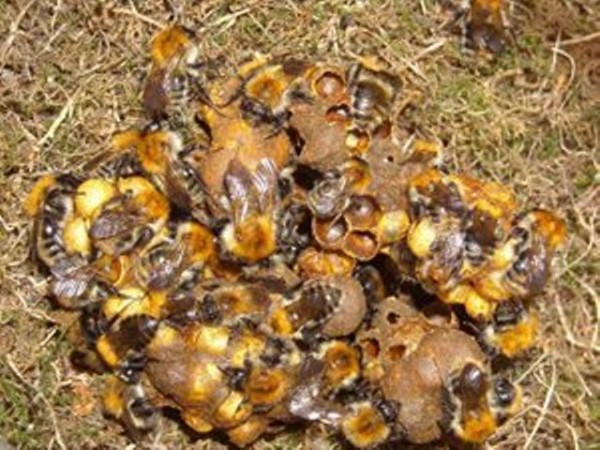 Neonicotinoids Destroy Honey Bee Colonies during winters, Study.