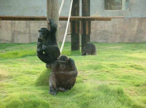 Chimpanzees Interact and Play With Robots, UK Study