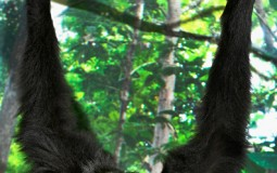 Star Wars-Loving Scientists Named Gibbon Species As Skywalker