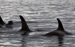 University of Exeter and University of Yok Research: Whales Hold The Key To Menopause