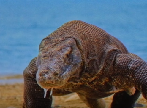 Komodo Dragon Blood Contains Substances That Can Save Lives [Video]