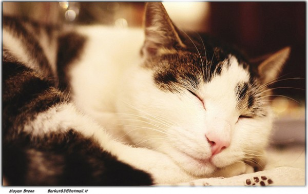 Frequent, Smaller Meals Prevents Feline Obesity, Study