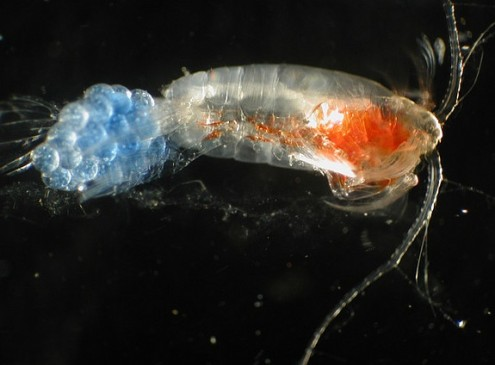 Ocean Acidification Threatens Survival Rate of Copepods in the Arctic, Study