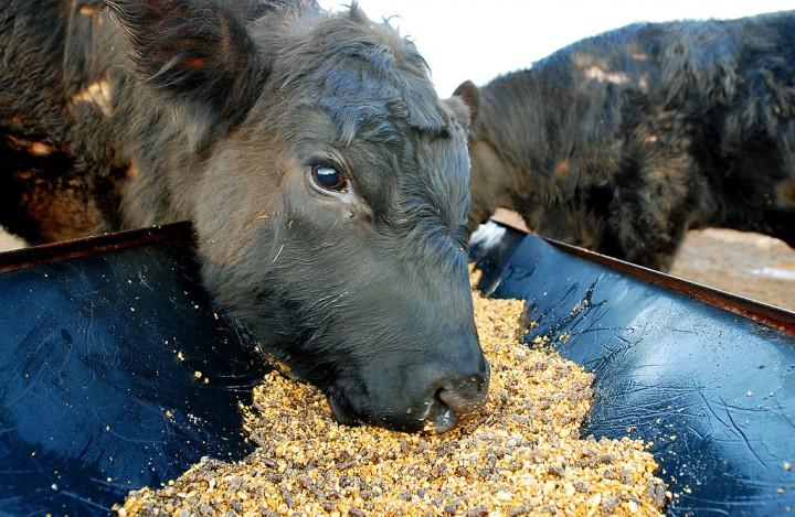 New Study Highlights Danger of Farm Superbugs
