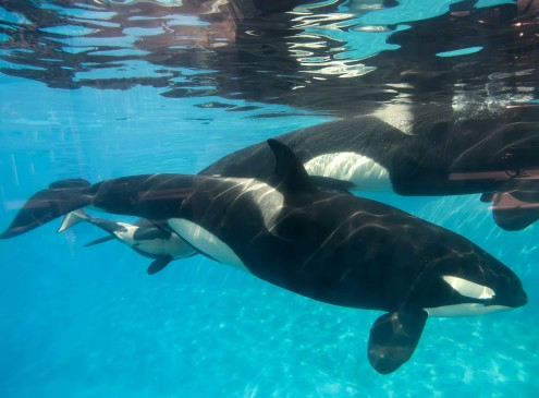 What Killer Whales Can Teach Humans About Climate Change [Video]