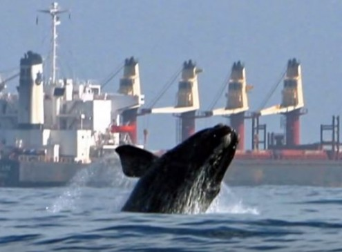 Endangered Right Whales Prone To Boat Collisions And Rope Entanglement [Video]