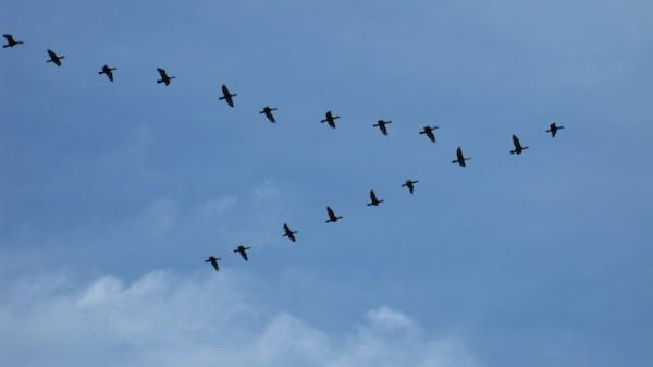Birds Flying in V Formation