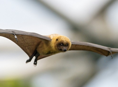 Tiny Muscles Fine-Tune Flight in Bats, Study