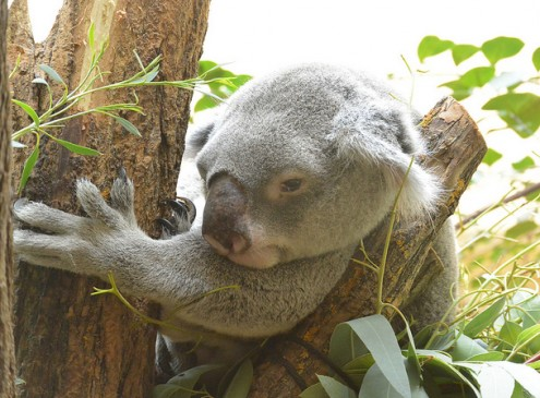 Koalas Hug Trees To Cope With Extreme Heat, Study