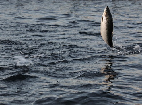Atlantic salmon Shows Ability to Adjust to Warmer Temperatures, Study